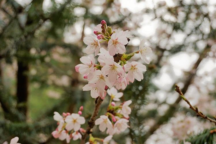 (ひとこと写真) エベレスト街道の桜。